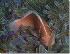 pink-anemone-fish_thumb